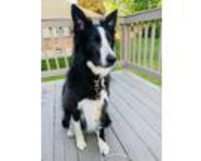 Adopt Maggie a Black - with White Border Collie dog in Centerville