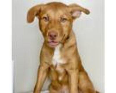 Adopt Dunkel a Red/Golden/Orange/Chestnut Shepherd (Unknown Type) / Mixed dog in