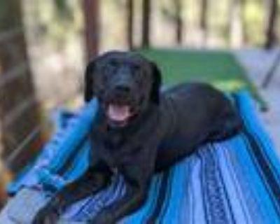 Adopt Ozzy a Black Labrador Retriever
