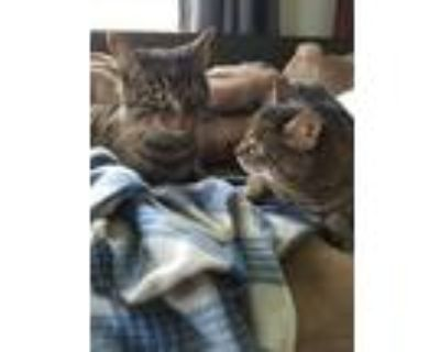 Adopt Buffy and Willow a Brown Tabby American Shorthair / Mixed (short coat) cat