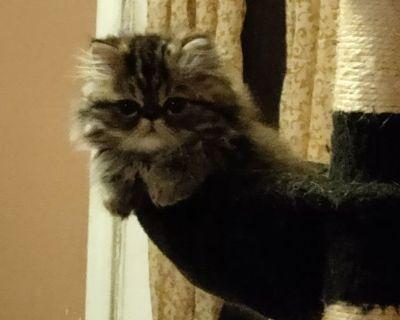 Persian kittens (pure breed)