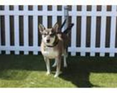 Adopt LOVE BUG a Brown/Chocolate - with White Australian Kelpie / Mixed dog in