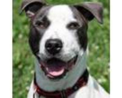 Adopt Gideon a Pit Bull Terrier, Mixed Breed
