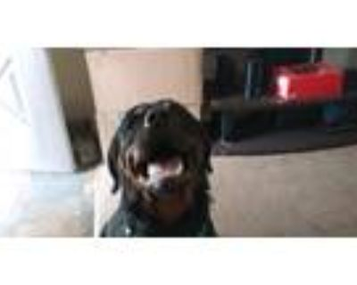 Adopt Titan a Black - with Tan, Yellow or Fawn Rottweiler / Mixed dog in