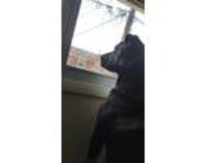 Adopt Apollo a Black - with White Husky / Mixed dog in Dayton, OH (31436202)