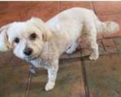 Adopt Rolex a White Terrier (Unknown Type, Small) / Mixed dog in Tucson
