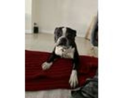 Adopt Valentino a Black - with White Boston Terrier / Mixed dog in Sherman Oaks
