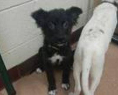Adopt Pixie a Black Border Collie / Mixed dog in Boulder, CO (32022753)