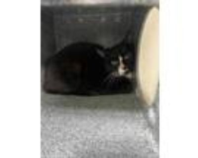 Adopt 47900144 a All Black Domestic Shorthair / Domestic Shorthair / Mixed cat