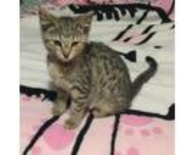 Adopt Birch a Brown or Chocolate Domestic Shorthair / Mixed cat in Blasdell