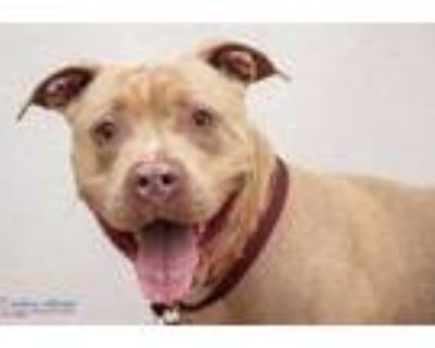 Adopt Dilly a Tan/Yellow/Fawn American Pit Bull Terrier / Mixed dog in Hamilton
