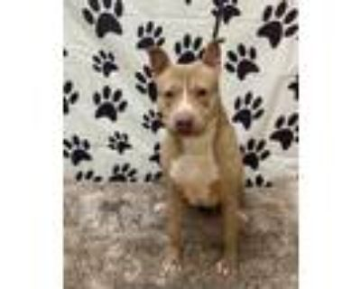 Adopt CHLOE a Tan/Yellow/Fawn - with White American Pit Bull Terrier / Mixed dog