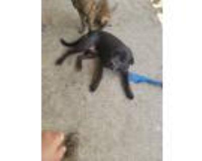 Adopt Xander a Black Labrador Retriever / Mixed dog in Killeen, TX (31998803)