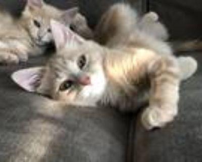 Adopt Leah a Tan or Fawn Tabby Domestic Mediumhair cat in Lorton, VA (32004790)
