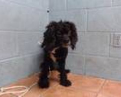 Adopt HOPE a Black Cocker Spaniel / Mixed dog in Downey, CA (31566095)