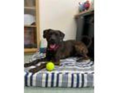 Adopt SPENCER a Brindle Hound (Unknown Type) / American Staffordshire Terrier /
