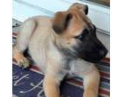 Adopt Kent Alaska a Tan/Yellow/Fawn German Shepherd Dog / Akita / Mixed dog in