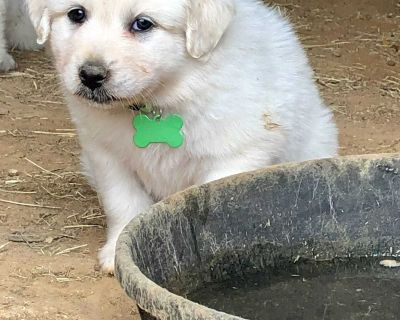Great Pyrenees- Female
