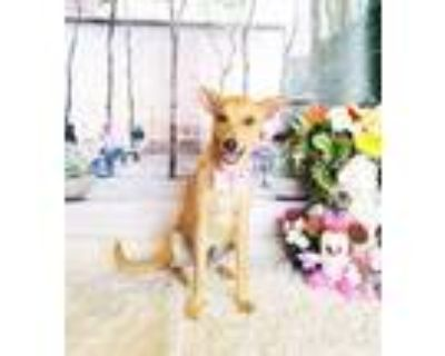 Adopt Idabel a Brown/Chocolate Labrador Retriever / Mixed dog in Castro Valley