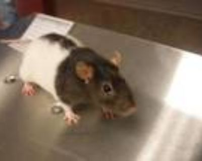 Adopt HARRY a Rat