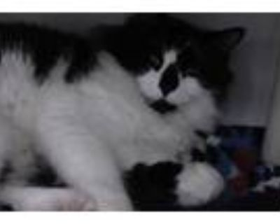 Adopt PRINCE a Black & White or Tuxedo Domestic Longhair / Mixed (long coat) cat
