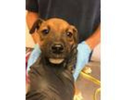 Adopt 48035008 a Brown/Chocolate American Pit Bull Terrier / Australian Cattle