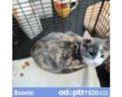 Adopt BONNIE a Gray or Blue Domestic Shorthair / Mixed (short coat) cat in