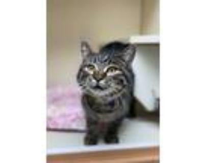 Adopt Ralph a Domestic Shorthair / Mixed cat in Albuquerque, NM (30940042)