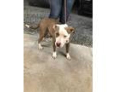 Adopt GUS a Gray/Silver/Salt & Pepper - with White American Pit Bull Terrier /