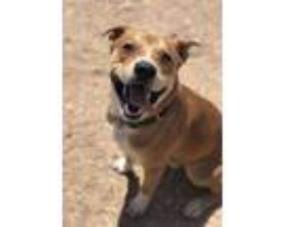 Adopt COBY a Tan/Yellow/Fawn - with White American Pit Bull Terrier / Mixed dog