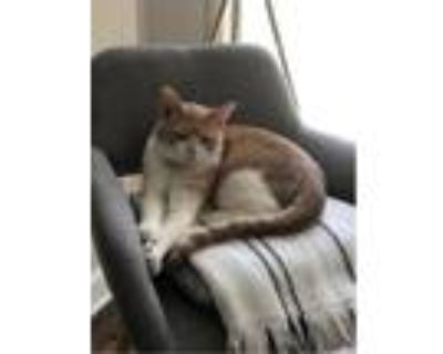Adopt P.J a Orange or Red Tabby Domestic Shorthair / Mixed cat in Greenbelt
