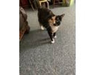 Adopt Spice a Black (Mostly) American Shorthair / Mixed (short coat) cat in