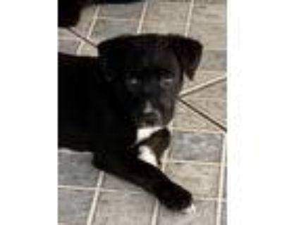 Adopt Allie a Black - with White Labrador Retriever / Border Collie / Mixed dog