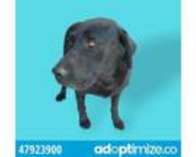 Adopt 47923900 a Labrador Retriever