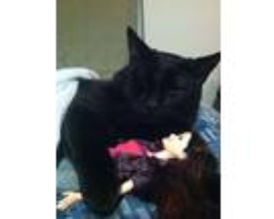 Adopt Midnight a All Black American Shorthair / Mixed (short coat) cat in Fort
