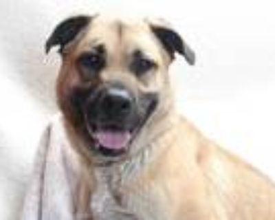 Adopt DUKE a Brown/Chocolate German Shepherd Dog / Mastiff / Mixed dog in
