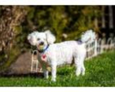 Adopt Clooney a Bichon Frise / Poodle (Standard) / Mixed dog in Kettering