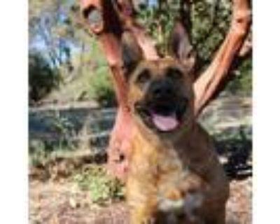 Adopt Delta a German Shepherd Dog