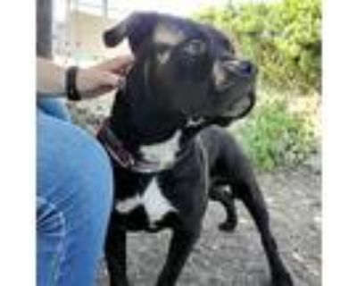 Geno, American Pit Bull Terrier For Adoption In Oakland, California