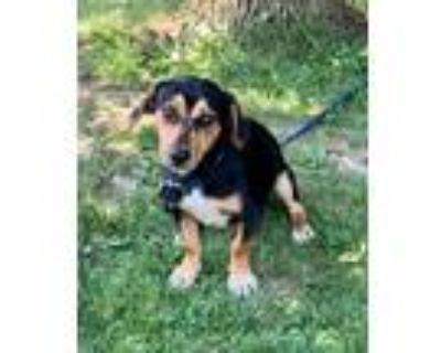 Adopt Shilo a Beagle