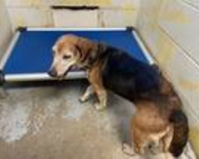 Adopt Charlie a Tricolor (Tan/Brown & Black & White) Beagle / Mixed dog in