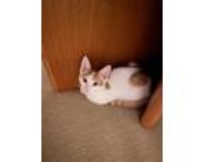 Adopt Sonny a White Domestic Shorthair / Mixed cat in Fremont, CA (32081347)