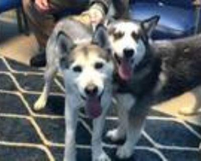 Adopt Stormie a Siberian Husky