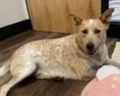 Adopt BINGO a Australian Cattle Dog / Blue Heeler