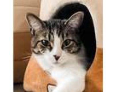 Andrew Dice Cat (aka Ford), Domestic Shorthair For Adoption In Palatine