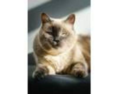 Adopt Sigourney a Gray or Blue Domestic Mediumhair / Domestic Shorthair / Mixed