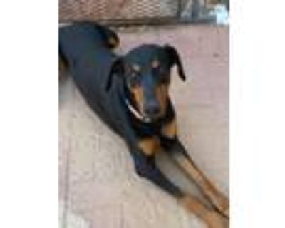 Adopt Ricky a Black - with Tan, Yellow or Fawn Doberman Pinscher / Mixed dog in