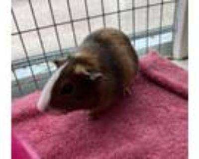 Adopt CABRITO a Guinea Pig