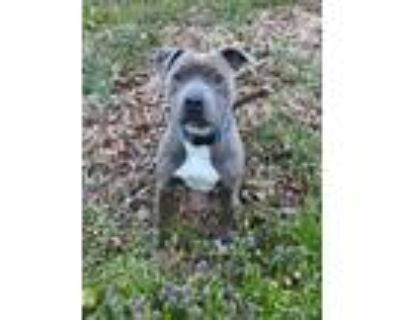 Adopt Moxie a Red/Golden/Orange/Chestnut - with Black Pit Bull Terrier / Mixed