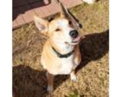 Adopt Wally a Tan/Yellow/Fawn - with White Husky / American Pit Bull Terrier /